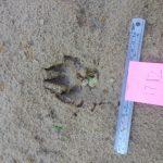 Paul Hung Animal Print in sand